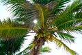 Free Sun Rays Through Palm Tree. Royalty Free Stock Photo - 32474465