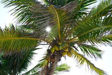 Free Sun Rays Through Palm Tree. Royalty Free Stock Photo - 32474465