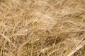 Free Rye Field Close Up In Nature Royalty Free Stock Photo - 32482895