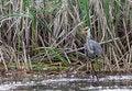 Free Great Blue Heron Eating A Fish Royalty Free Stock Image - 32485736