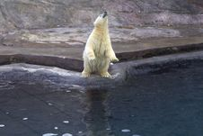 Russia. Moscow Zoo. The Polar Bear. Royalty Free Stock Photos