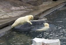 Russia. Moscow Zoo. The Polar Bear. Stock Photo