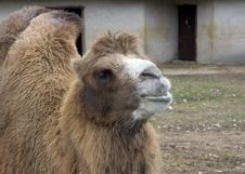 Russia. Moscow Zoo. Bactrian Camel. Stock Photo