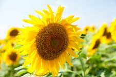 Free Sunflower Close-up Outdoors Stock Photography - 32482722