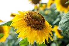 Free Growing Sunflower Close-up Stock Image - 32482761