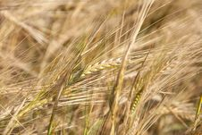 Free Rye Ears Close Up In Nature Stock Photography - 32482902