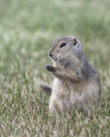 Free Prairie Dog Royalty Free Stock Photo - 32485815
