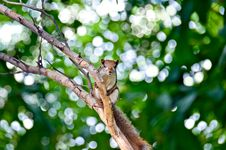 Free Portrait Of A Squirrel Stock Photos - 32488543