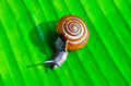 Free Little Snail Royalty Free Stock Image - 32498896
