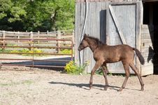 Free Foal Stock Photography - 32492662