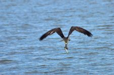 Free Osprey With A Catch Stock Photos - 32497903