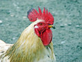 Free Rooster Stock Image - 3253251