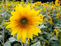 Free Sunflower In Field Close-up Royalty Free Stock Photo - 3253615