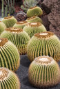 Free Golden Barrel Cactus Royalty Free Stock Photography - 3254297