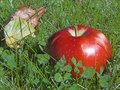 Free APPLE IN THE GRASS Royalty Free Stock Photography - 3255147