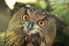 Free Eagle-owl Stock Photo - 3250430