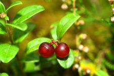 Free Cowberry Stock Images - 3250504