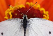 Free Cabbage Butterfly Stock Photos - 3250653