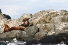 Free Sea Lion Royalty Free Stock Photography - 3250927
