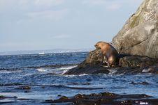 Free Sea Lion Stock Photo - 3250930
