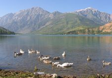 Free Gooses On Lake Stock Images - 3251154