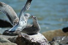 Free Seagulls Bickering Stock Photo - 3252220