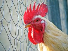 Free Rooster Royalty Free Stock Photo - 3253415