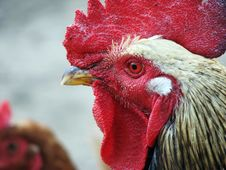 Free Rooster Stock Photography - 3253432