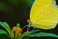 A Yellow Butterfly Stock Image
