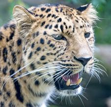 Free Amur Leopard 5 Royalty Free Stock Photography - 3253927