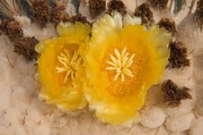 Free Giant Barrel Cactus Flowers Stock Photo - 3254360