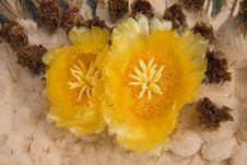 Giant Barrel Cactus Flowers Stock Photo