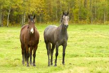 Two Horses In Autumn Field Royalty Free Stock Images