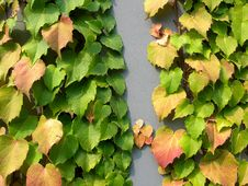 Free Ivy Leaves In Autumn Stock Photography - 3255612