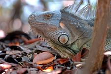 Free Green Iguana Stock Photo - 3255670