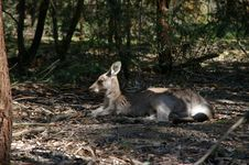 Free Lazy Kangaroo Stock Photography - 3255912