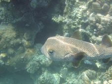 Free Anralfish Red Sea Egypt Africa Royalty Free Stock Image - 3256606