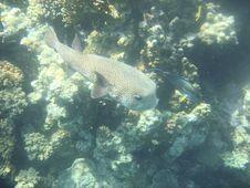 Free Angelfish Red Sea Egypt Africa Stock Photo - 3256610