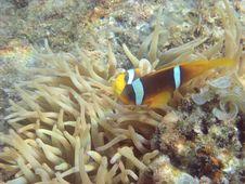 Free Angelfish And Actinia Stock Photos - 3256683