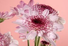 Free Pink Daisies Royalty Free Stock Photos - 3257558