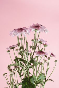 Free Pink Daisies Stock Images - 3257614