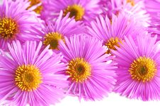 Free Asters Royalty Free Stock Images - 3258309