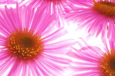 Free Pink Asters Royalty Free Stock Photo - 3258315