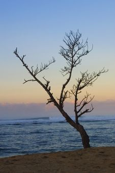 Free Dead Tree On The Beach Royalty Free Stock Photography - 3258487