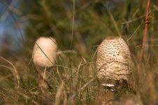 Free Two Parasol Mushrooms Royalty Free Stock Photography - 3258847