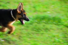 Dog Running Through The Field Royalty Free Stock Photo