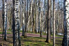Free Russian Birches Stock Photography - 3259752