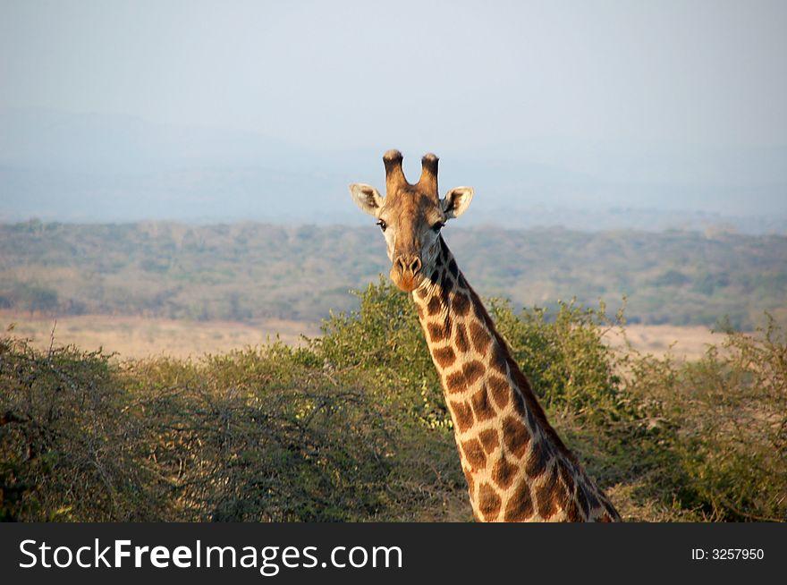 Giraffe s look