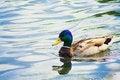 Free Mallard Duck On The Lake Stock Photo - 32505260