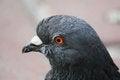 Free Pigeon &x28;Columba Livia&x29; Stock Images - 32505334